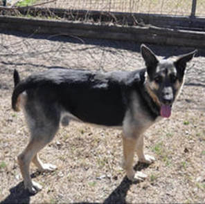 German Shepherd Rescue Of Central Texas Home